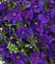 Larkspur-purple
