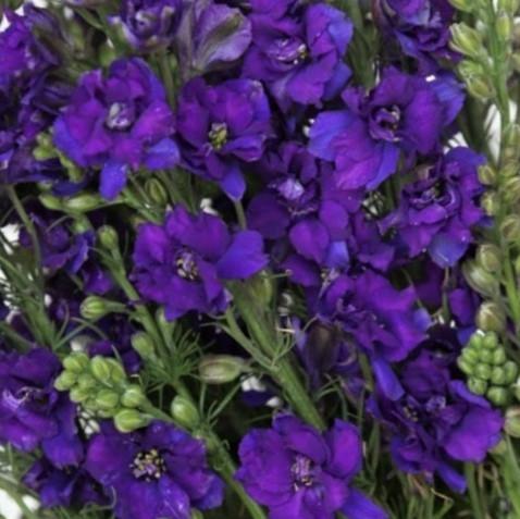 wholesale flowers | larkspur- purple
