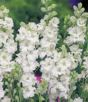 Larkspur-white