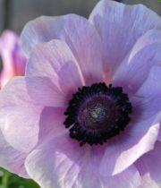 Anemones-lavender