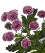 Mums, Spray-Button-lavender