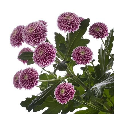 wholesale flowers   spray mums- button lavender