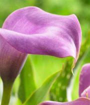 Callas, Mini-lavender