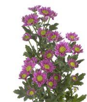 Mums, Spray-Daisy-lavender