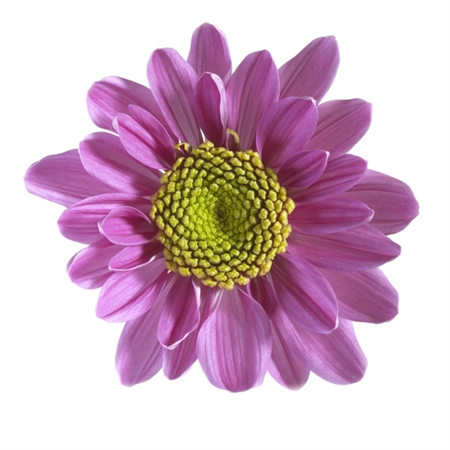 Buy the freshest lavender daisy mums available for weddings
