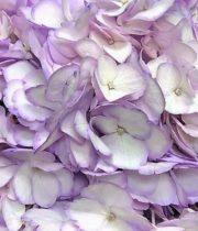 Hydrangea-lavender