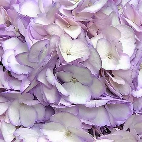 wholesale hydrangea-lavender
