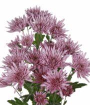 Mums, Spray-Spider-lavender