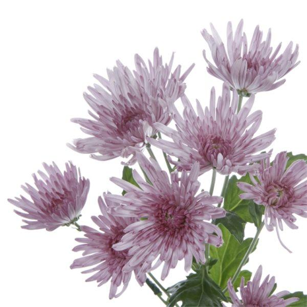 wholesale flowers | mums- spider lavender