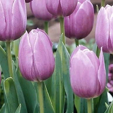 wholesale flowers | tulips greenhouse lavender