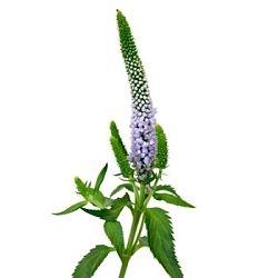 lavender-veronica