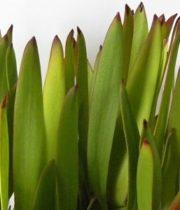 Leucadendron-green