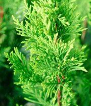 Cypress, Leyland