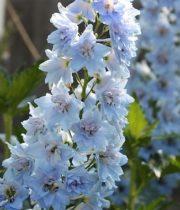 Delphinium, Hybrid-light Blue