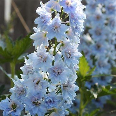 light blue delphiunium