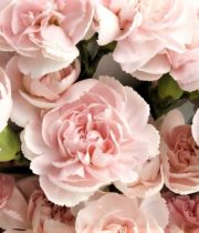 Carnations, Mini-light Pink