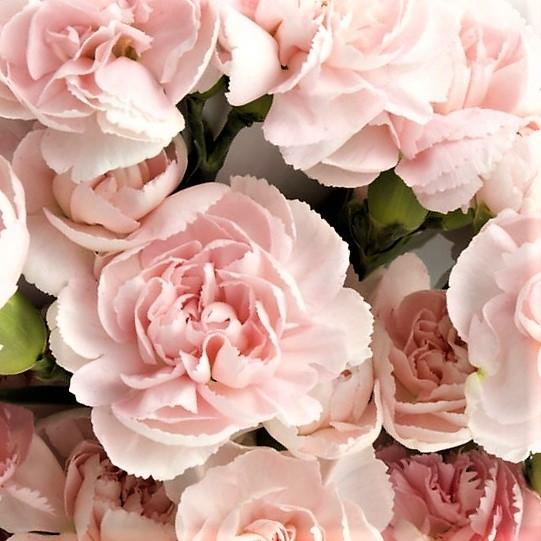 wholesale light-pink-carnation