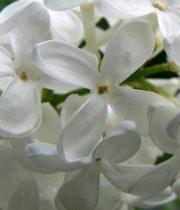 Lilac, Dutch-white