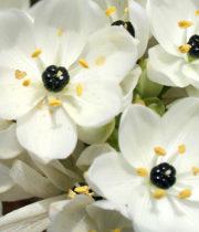 Ivory Coast Lily-white