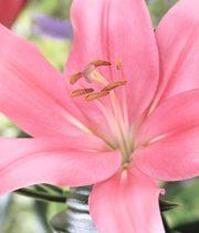 Lily L.A. Hybrid-light Pink