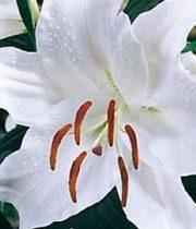 Lily Oriental-white