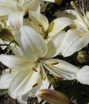 Lily L.A. Hybrid-cream