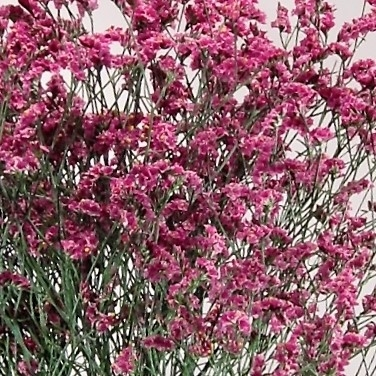 limonium-misty-pink
