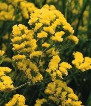Misty Limonium-yellow