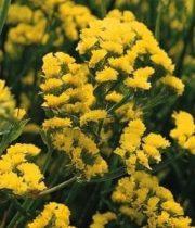 Misty Limonium-yellow