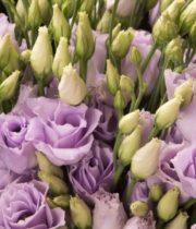 Lisianthus-lavender