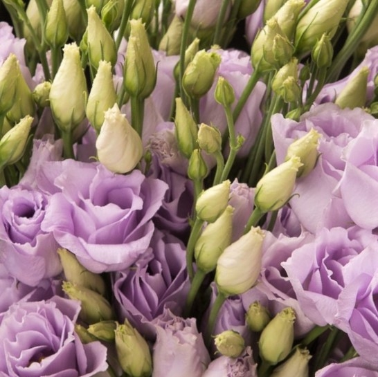 wholesale flowers | lisianthus-lavender