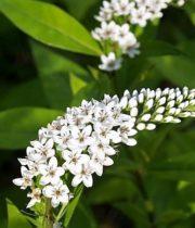Lysimachia-white