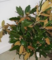Magnolia Leaf Foliage-brown