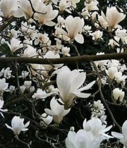Branch, Japanese Magnolia-white