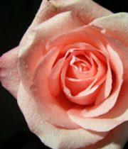 Rose, Marlysse-SA