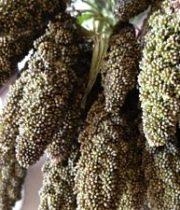 Millet-brown