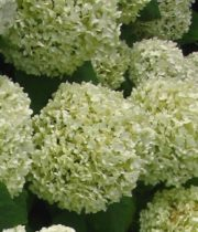 Hydrangea, Anabelle-mini Green