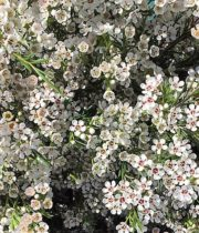 Waxflower-mini White