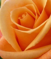 Orange Unique 50cm Roses, SA