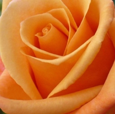 wholesale flowers | rose miracle