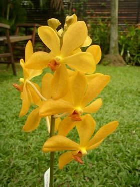 wholesale flowers | orchid- mokara yellow