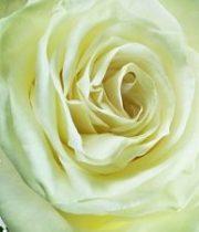 Rose, Mondial Cream/white