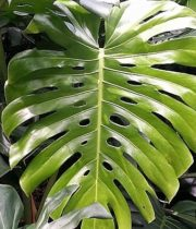 Monstera Leaves, Large