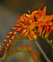 Montbretia Flower-orange