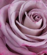 Moody Blues 50cm Roses, SA