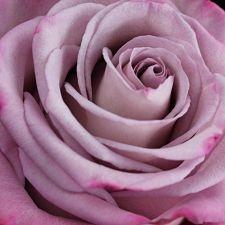 wholesale flowers | rose moody blues