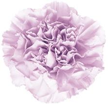 wholesale moonaqua-purple-CARNATION