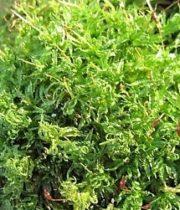 Moss, Musgo