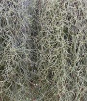 Moss, Spanish