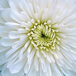wholesale flowers | mums- cremone white